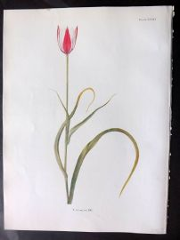 Dykes 1930 Botanical Print. Tulip Clusiana DC 23
